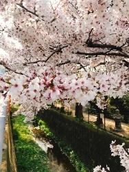 今日の桜_a0059035_12395493.jpg