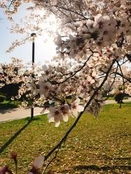 今日の桜_a0059035_12440038.jpg