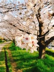 今日の桜_a0059035_12490845.jpg