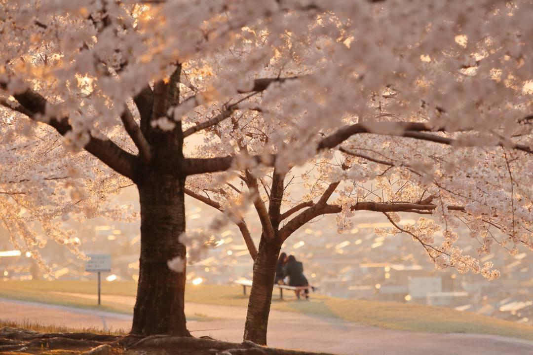 桜 2020_e0403850_09510215.jpg