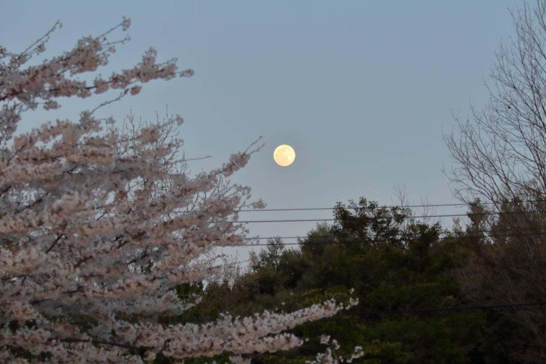 桜 2020_e0403850_09520370.jpg