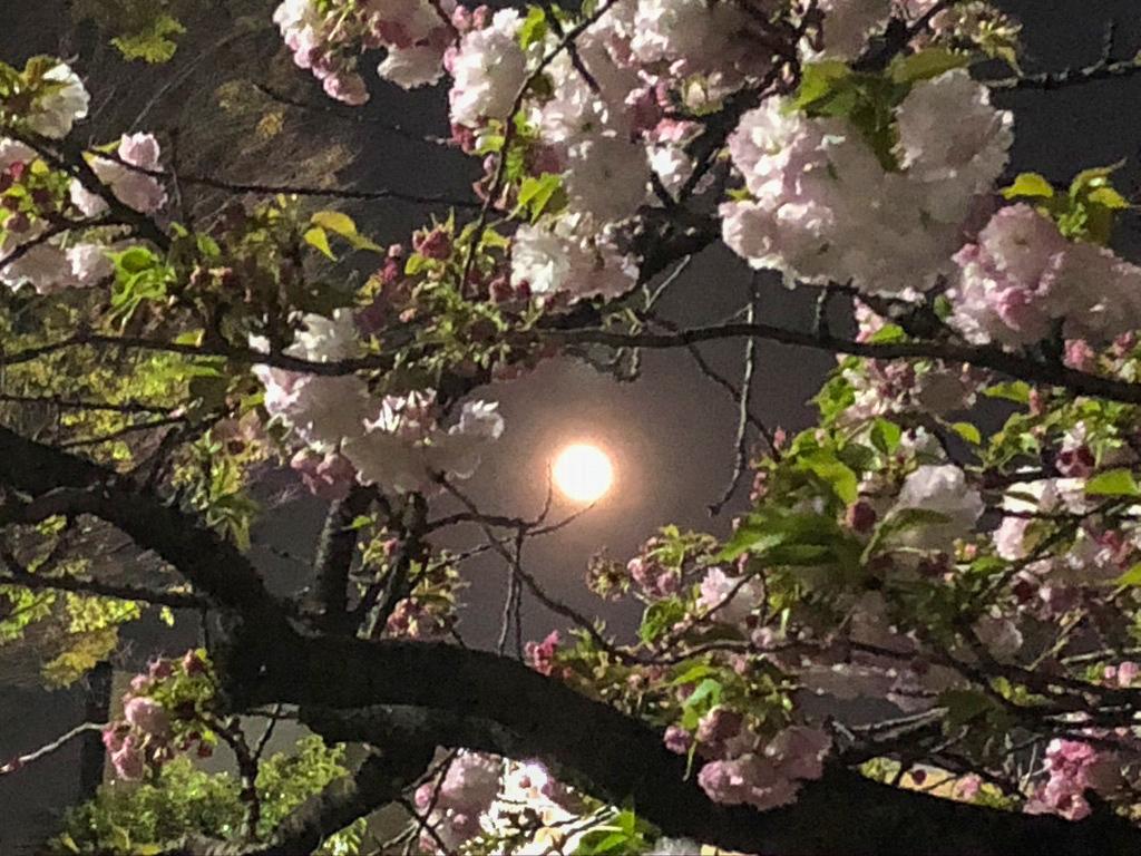 スーパームーンと八重桜_a0261169_21512536.jpg