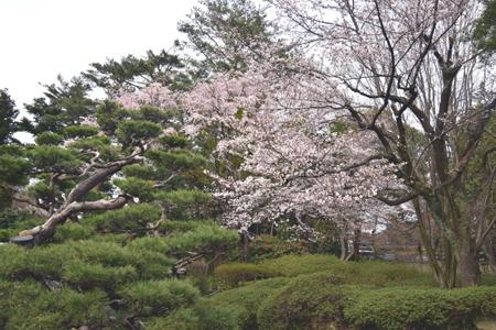 桜 さく_f0168873_21304181.jpg