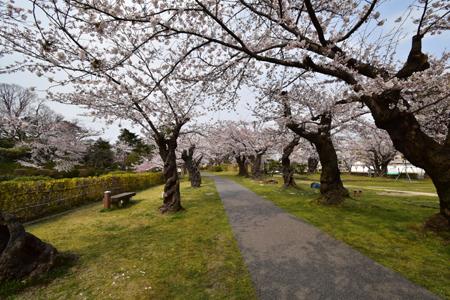 桜 さく_f0168873_21314314.jpg