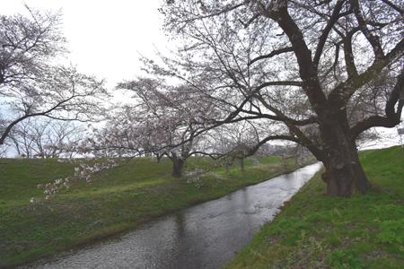 桜 さく_f0168873_21333247.jpg