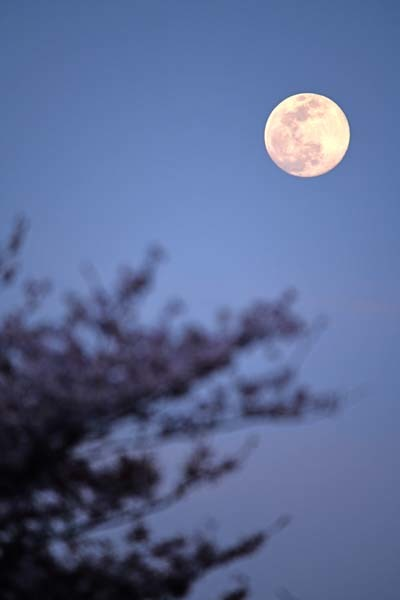 多摩川・桜と月_f0173596_11423302.jpg