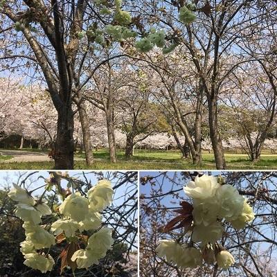 デカパンと今日の桜と王子。_f0372998_20054645.jpg