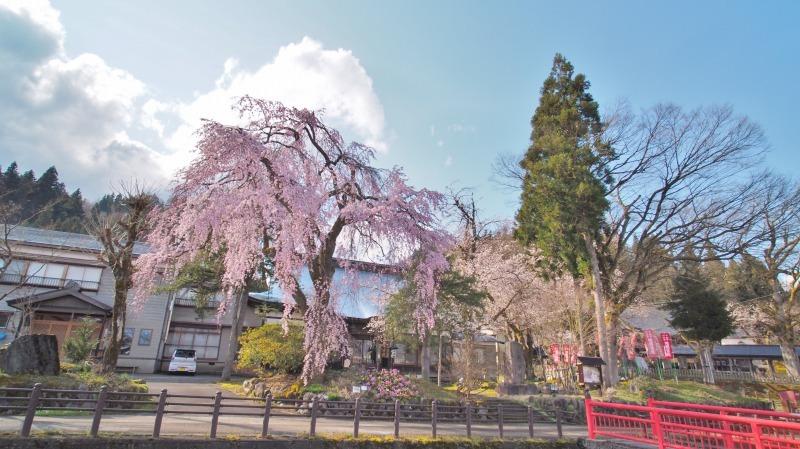 千手院の枝垂れ桜 ③_c0336902_21401055.jpg