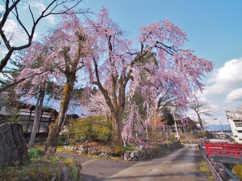 千手院の枝垂れ桜 ③_c0336902_21401457.jpg