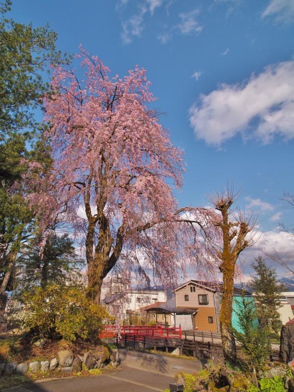 千手院の枝垂れ桜 ③_c0336902_21402272.jpg