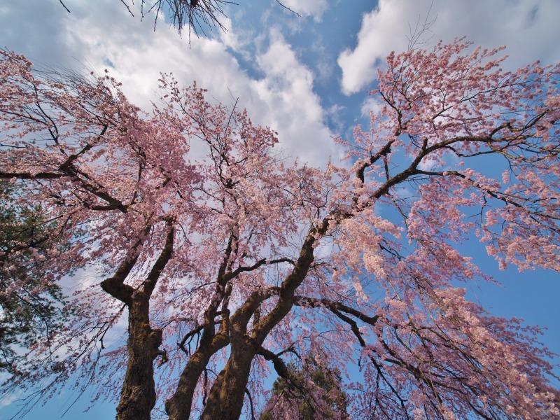 千手院の枝垂れ桜 ③_c0336902_21402615.jpg