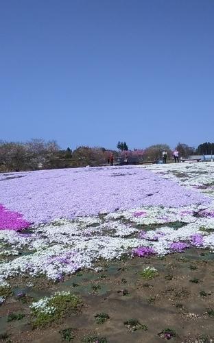 芝桜とネモフィラ 4月9日 [木]_e0018604_23193233.jpg