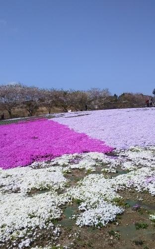 芝桜とネモフィラ 4月9日 [木]_e0018604_23194163.jpg