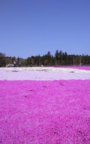 芝桜とネモフィラ 4月9日 [木]_e0018604_23194880.jpg