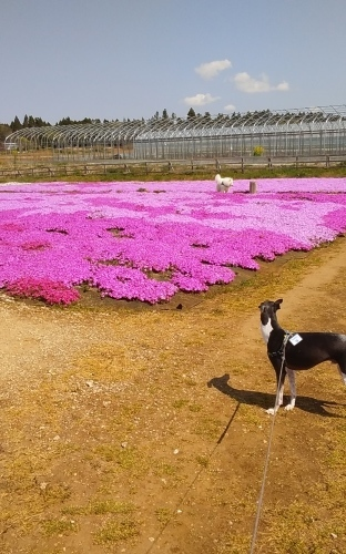 芝桜とネモフィラ 4月9日 [木]_e0018604_23195537.jpg