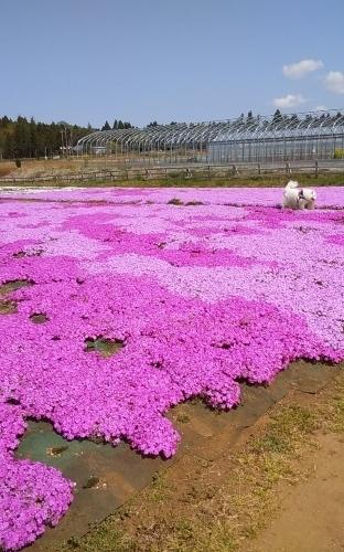 芝桜とネモフィラ 4月9日 [木]_e0018604_23201144.jpg