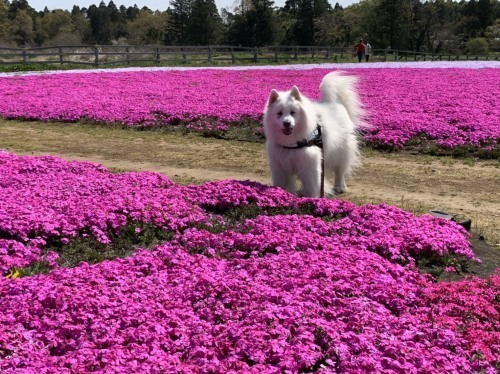 芝桜とネモフィラ 4月9日 [木]_e0018604_23202744.jpg