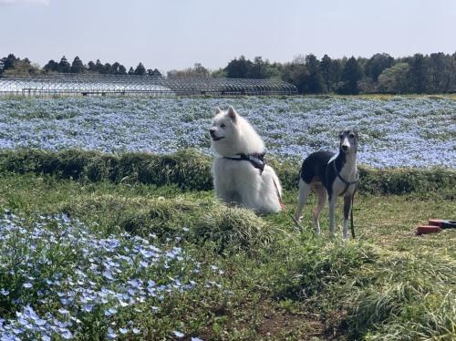 芝桜とネモフィラ 4月9日 [木]_e0018604_23203538.jpg