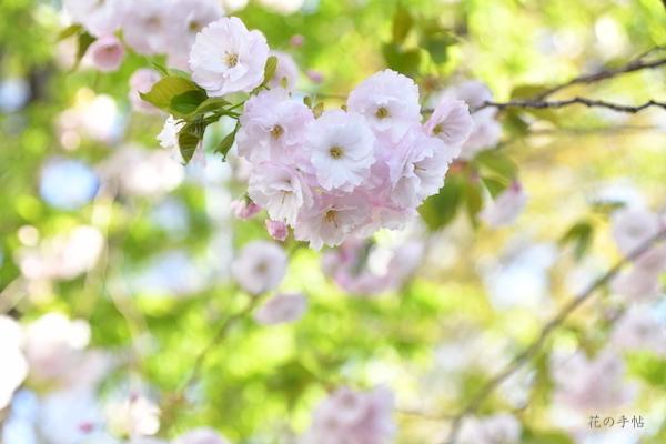 八重桜がきれいでした_a0356022_09564702.jpg
