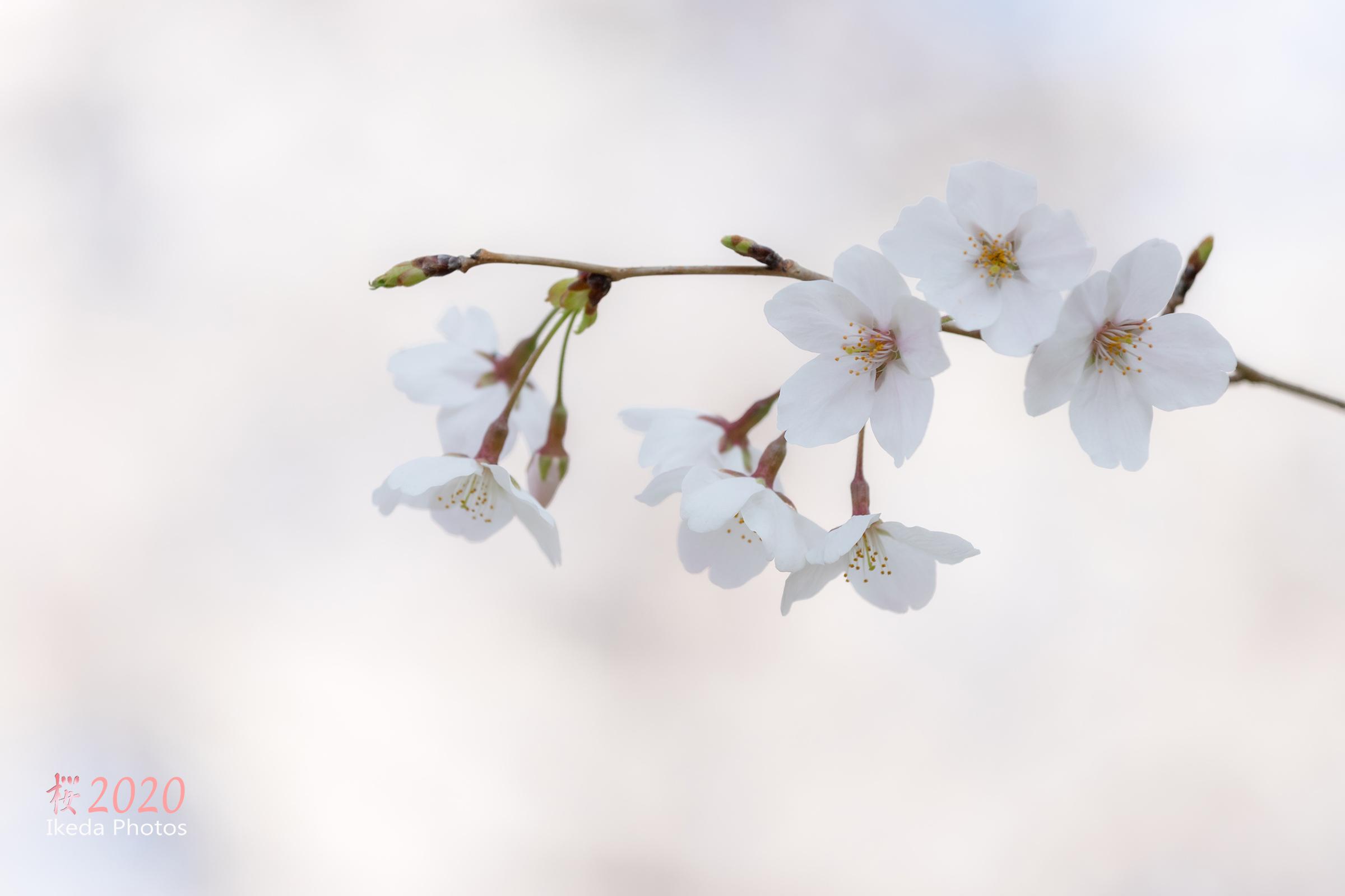 桜の季節 2 _f0308134_13170767.jpg