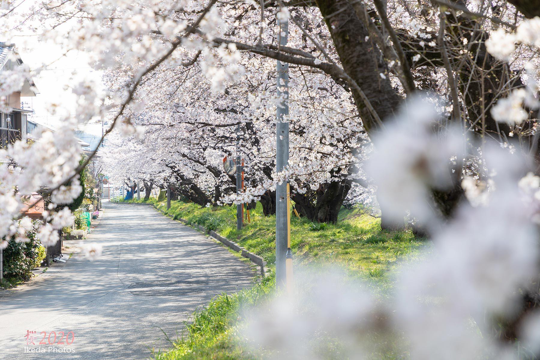 桜の季節 2 _f0308134_13171432.jpg