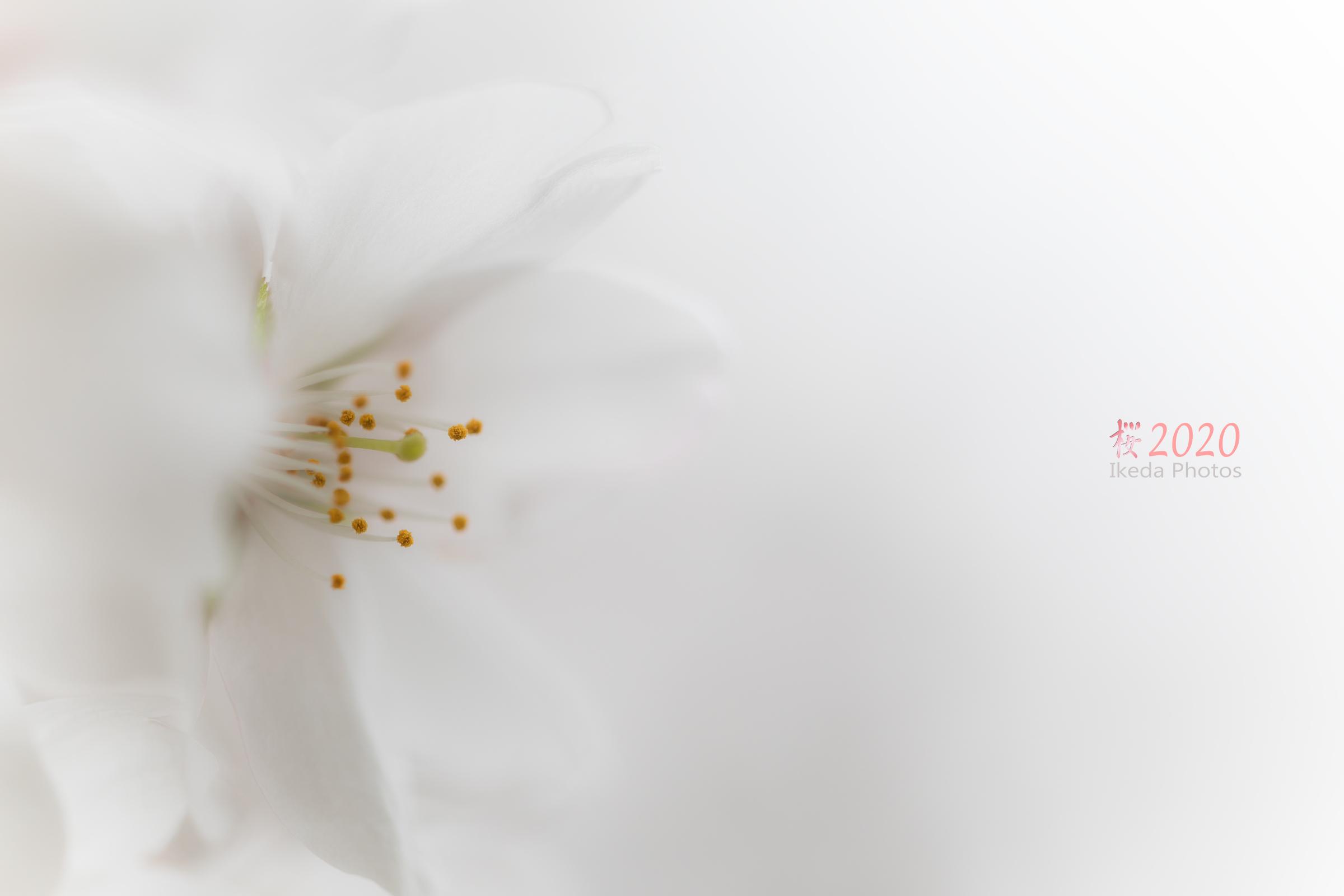 桜の季節 2 _f0308134_13172820.jpg