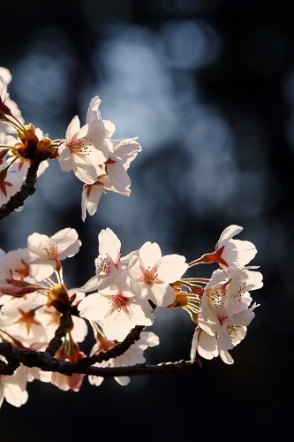 桜雲(おううん)_b0314043_08423092.jpg