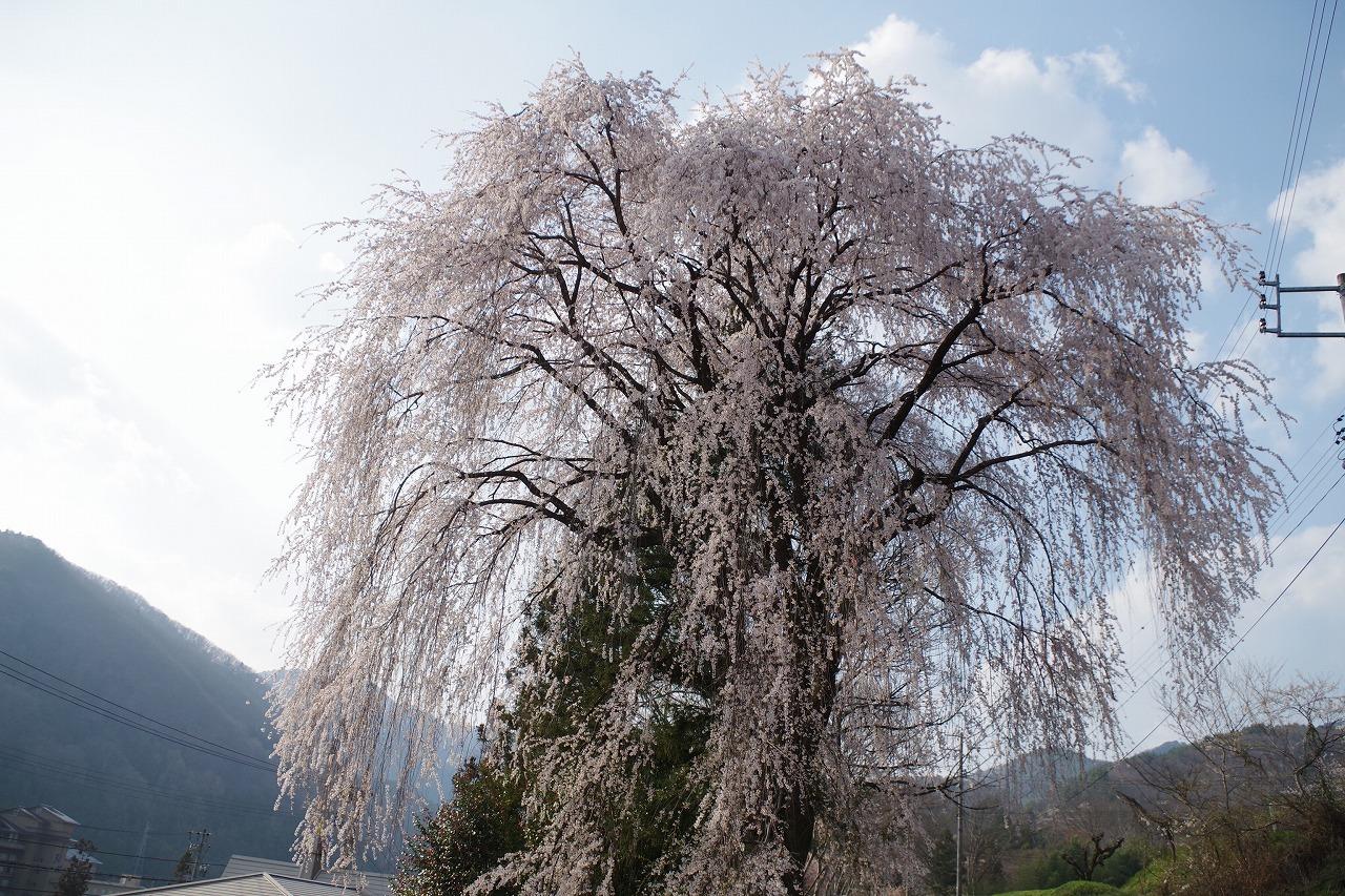 のどかに桜三昧_f0114346_12055479.jpg