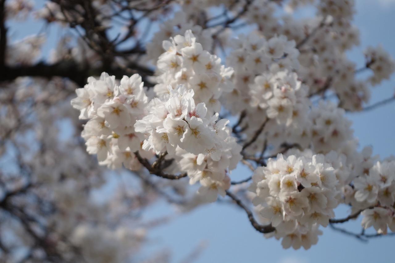 のどかに桜三昧_f0114346_12060836.jpg
