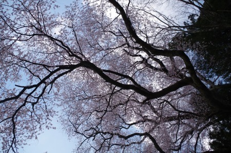 のどかに桜三昧_f0114346_12184596.jpg