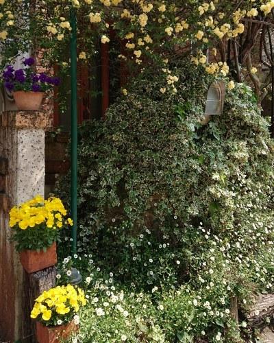 モッコウバラが咲いて_c0172049_11164507.jpg