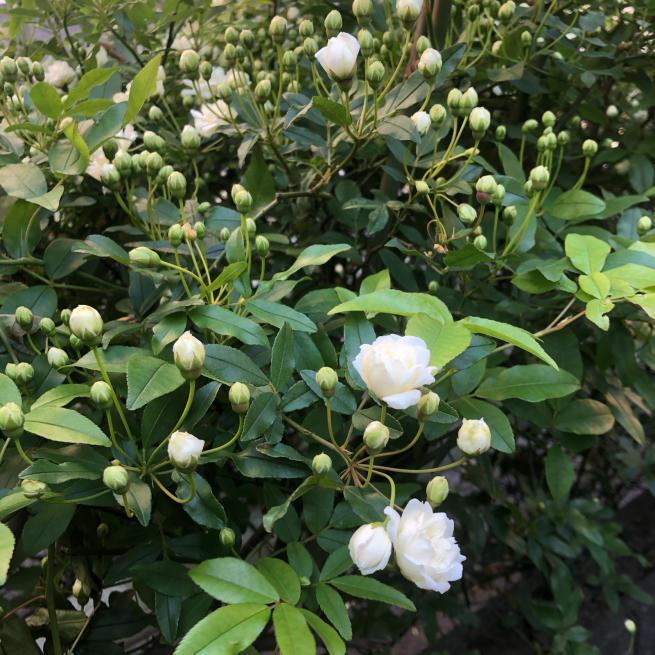 モッコウバラ咲き始めましたね♪_b0368251_07232750.jpg