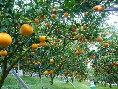 究極の柑橘「せとか」 令和2年出荷予定分はいよいよ残りわずか!ご注文はお急ぎください!_a0254656_13464819.jpg