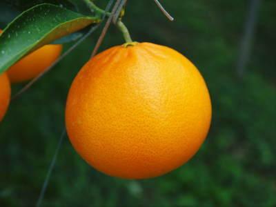 究極の柑橘「せとか」 令和2年出荷予定分はいよいよ残りわずか!ご注文はお急ぎください!_a0254656_13580497.jpg
