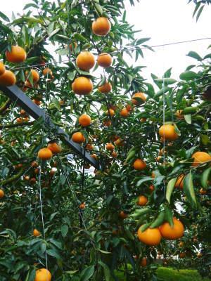 究極の柑橘「せとか」 令和2年出荷予定分はいよいよ残りわずか!ご注文はお急ぎください!_a0254656_14031604.jpg