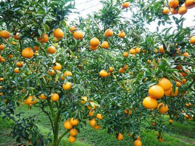 究極の柑橘「せとか」 令和2年出荷予定分はいよいよ残りわずか!ご注文はお急ぎください!_a0254656_14273919.jpg