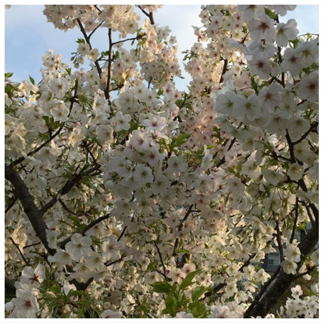 桜_b0328361_20462688.jpeg