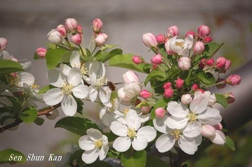 白い花  2020年4月9日_a0164068_22462863.jpg