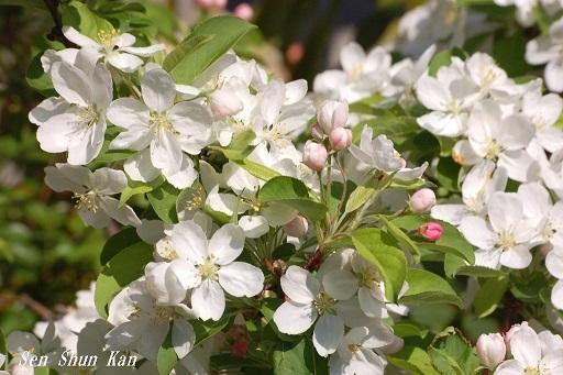 白い花  2020年4月9日_a0164068_22462876.jpg