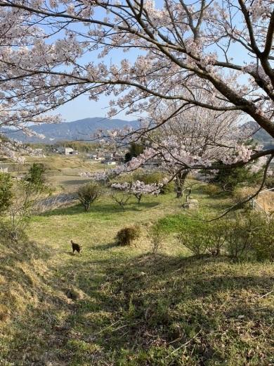 裏山の桜だより⑥ 2020 〜ウグちゃんと一緒に〜_c0334574_20464831.jpeg