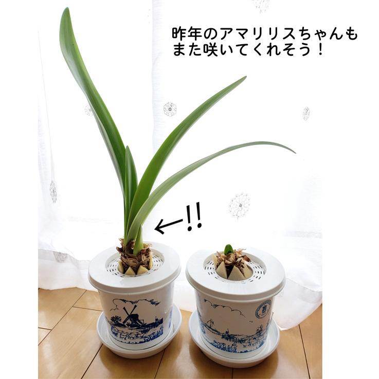 可愛いアマリリスちゃん/道明寺作り_d0224894_16565581.jpg