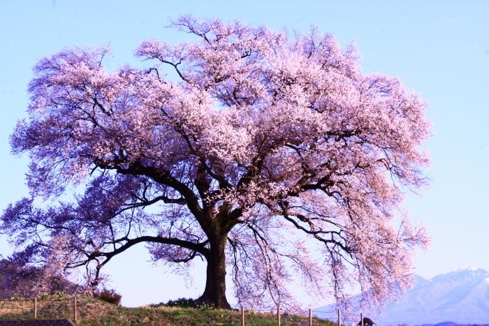 令和2年4月の富士 (2) 韮崎市わに塚の桜と富士_e0344396_15202590.jpg
