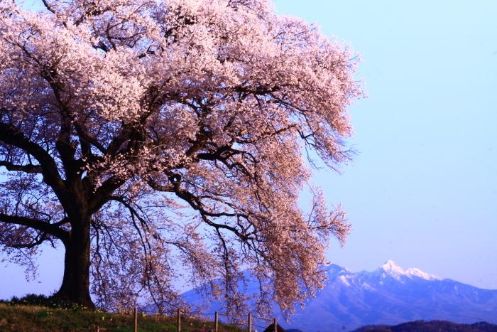 令和2年4月の富士 (2) 韮崎市わに塚の桜と富士_e0344396_15203390.jpg
