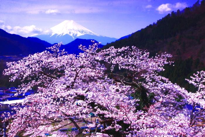 令和2年4月の富士 (3) 真木の桜と富士_e0344396_17215245.jpg