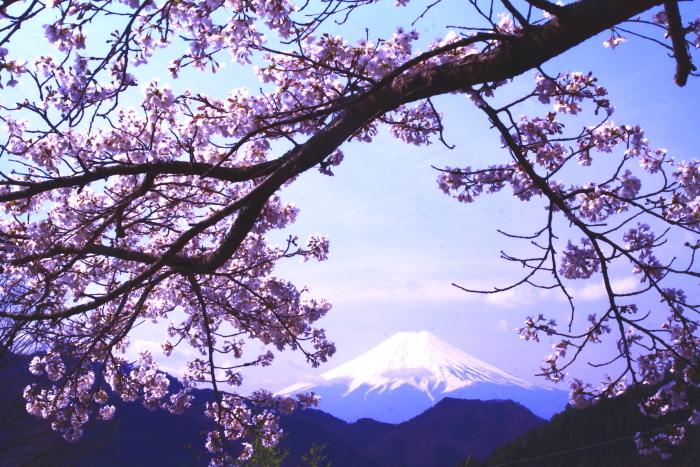 令和2年4月の富士 (3) 真木の桜と富士_e0344396_17215347.jpg