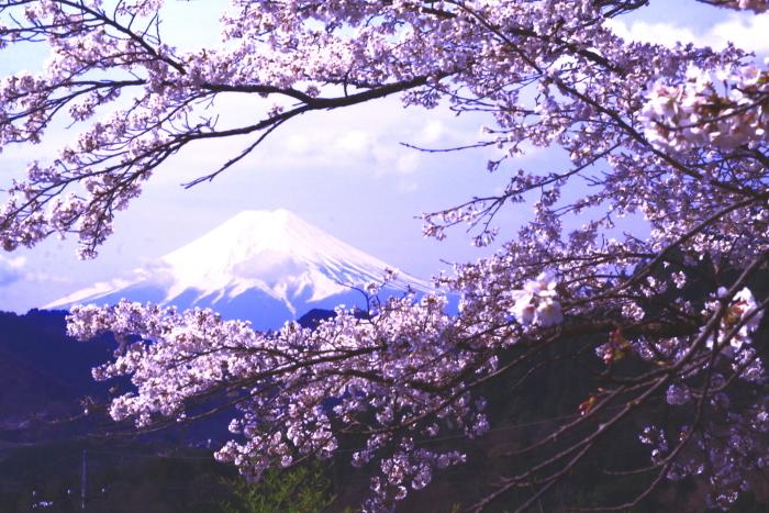 令和2年4月の富士 (3) 真木の桜と富士_e0344396_17215392.jpg