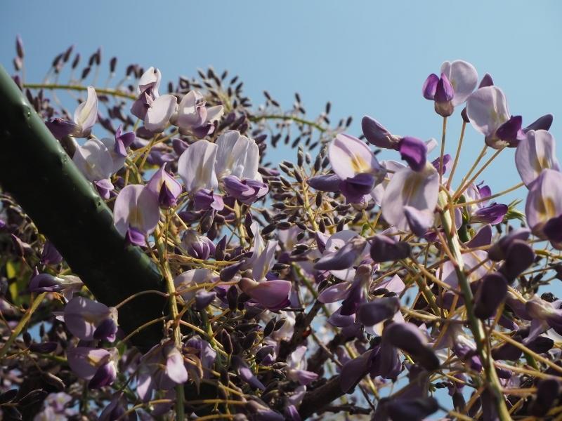 藤が咲いてる_e0350905_10193035.jpg