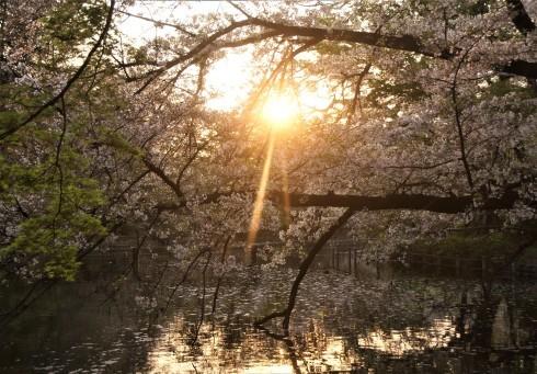 Sun in Sakura@Inokashira Park_f0006713_07484874.jpg