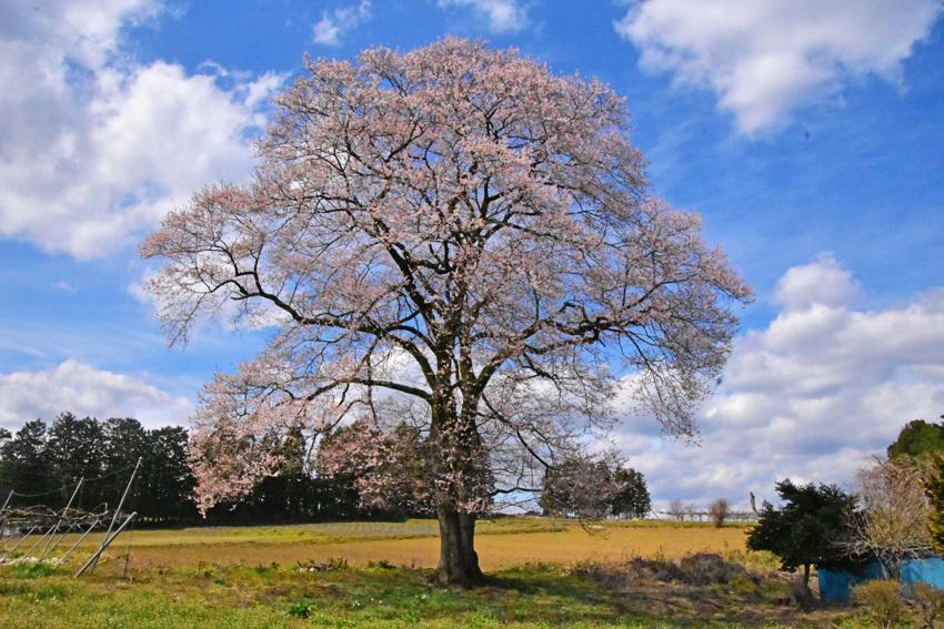蔵王町の一本桜_f0115214_09170565.jpg