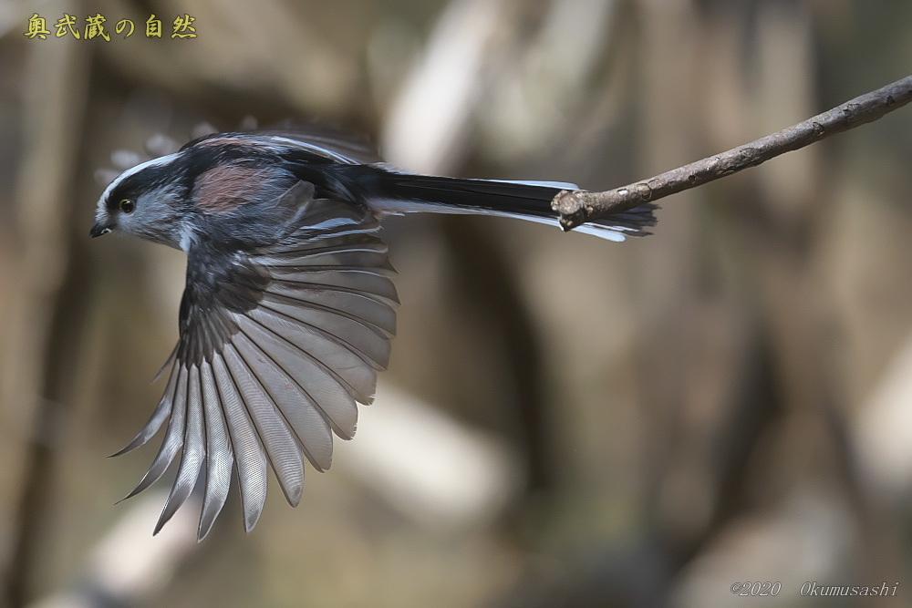 エナガの飛翔もどき_e0268015_17500793.jpg